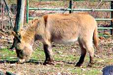 Scootch, miniature donkey gelding for sale